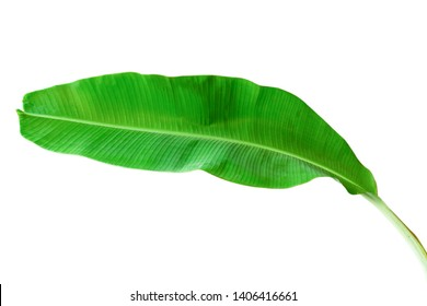 Green banana leaves placed on a white background