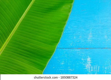 Green banana plantain leaves flat lay in blue wooden backdrop for a  summer tropical background. Top view design composition with copy space.