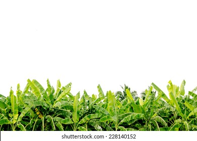 Green banana tree leaves on plantation isolated on white background