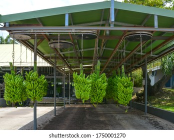 Green bananas hang on chains under the elevator roof. Banana Plantation in Le Francois, Martinique, West Indies