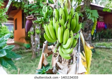 Green banana's at resort in tropical location.