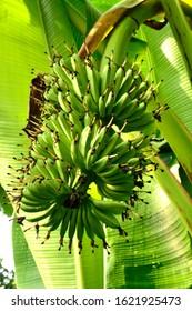 Green bananas are still in the tree