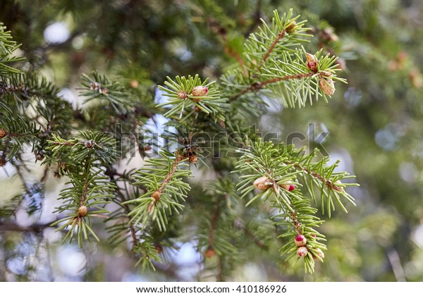 Green banch of fir tree. Beautiful natural view abstract background in daylight with bare tree leafless banches and forever green fir trees outdoor with no people backdrop, horizontal picture.