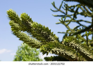 Green banches of Araucaria araucana against the blue sky. Monkey puzzle tree close up. Chilean pine is an evergreen tree