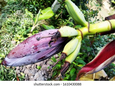 Green banena with Plantain flower