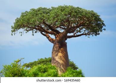 Green baobab at sunny day. Madagascar
