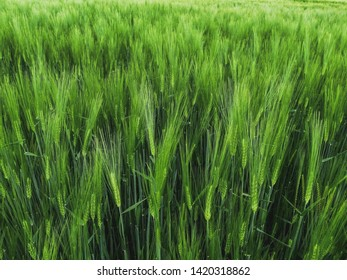 A green Barley Field. The fresh Stalks are close together.