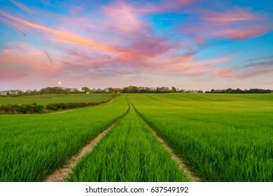Green barley field at sunset