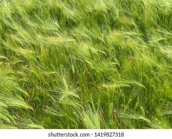 Green barley on a sunny day