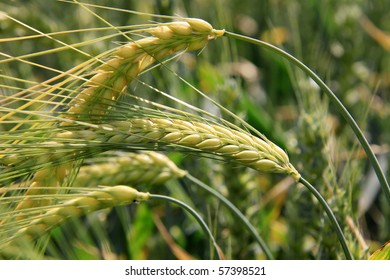 Green Barley Spikes