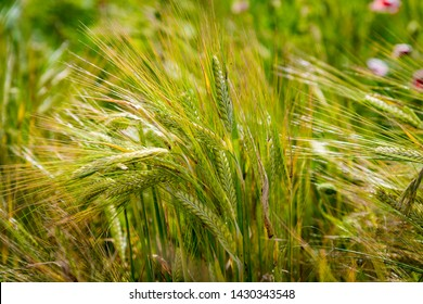 Green Barley in UK agricultural field. Farming background.