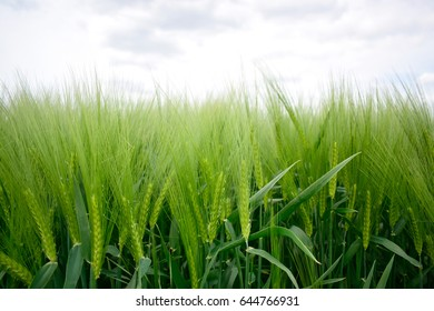 Green barley or wheat field on nature background, chlorophyll with sunshine and beautiful landscape farm at spring or summer season.
