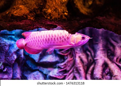 Green Base Red Arowana Fish view in close up in an aquarium