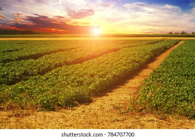 A green basil field against dark night sky with a beautiful sunset