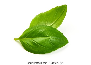 Green Basil Leaves Fresh Spice, closeup, isolated on a white background.