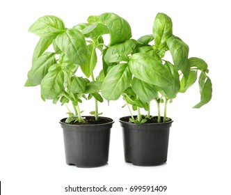 Green basil in pots on white background
