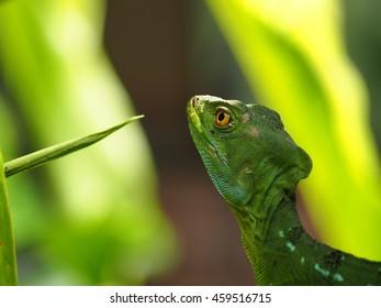 Green basilisk lizard, basiliscus plumifrons, Costa Rica