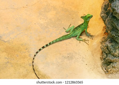 Green basilisk lizard at the sand and stone background