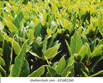 Green bay leaves on bush nature background