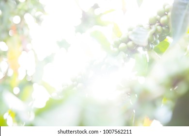 Green beans of arabic coffee plantation from Altinopolis, Alta Mogiana region, in Brazil. Select focus of leafs and coffee beans. Blowed Exposure for presentation background.