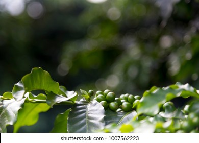 Green beans of arabic coffee plantation from Altinopolis, Alta Mogiana region, in Brazil. Select focus of leafs and coffee beans.