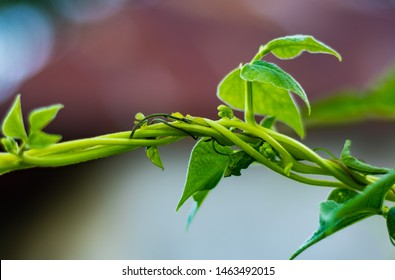 Green beans stems tangleded together stronger