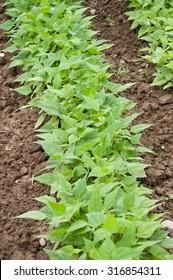 green beans in vegetables garden