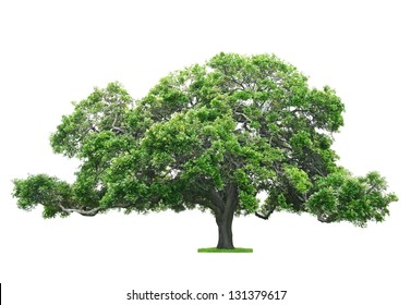 Green beautiful and big tree isolated on white background
