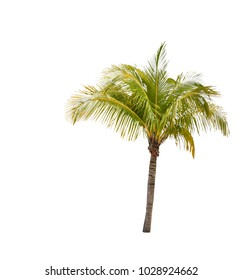 Green beautiful Coconut palm tree isolated on white background