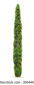 Green beautiful Cypress tree isolated on white background