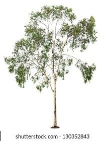 Green beautiful  eucalyptus tree isolated on white background