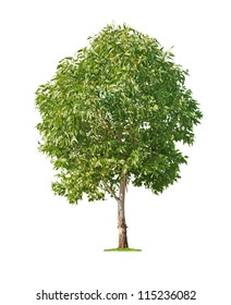 Green beautiful and young eucalyptus tree isolated on white background