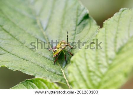 Green Bedbug Lygus Spinolai On Green Stock Photo Edit Now