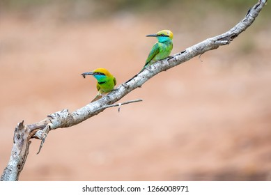 Green Bee eaters perching on a branch in Udawalawe National Park, Sri Lanka