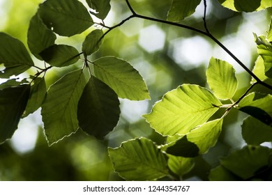 Green beech leaves on a tree in spring