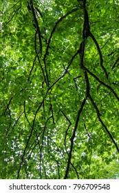 Green Beech Tree Canopy Foliage Pattern