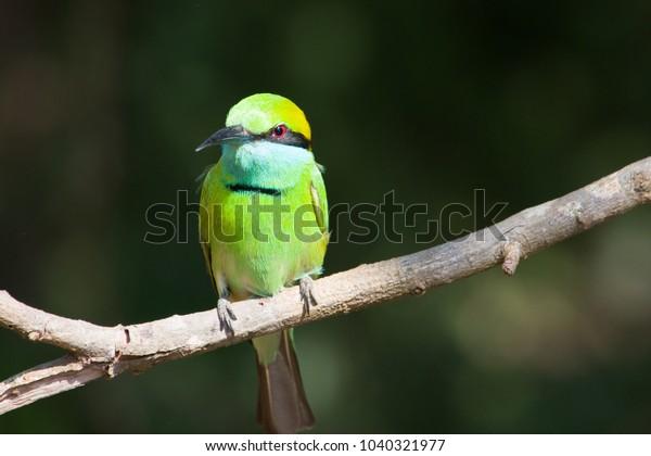 green-beeeater-bird-yala-national-600w-1