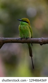 The green bee-eater , also known as little green bee-eater, is a near passerine bird in the bee-eater family and is endemic to various countries including India.