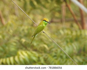 The green bee-eater (Merops orientalis)