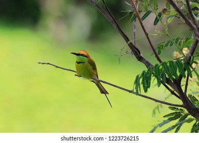 Green Bee-eater: One of the most visible Bee-eaters of Thailand, it is amusing to watch this bird as it comes back with a bee or other insects in its beak. Tosses the food up and then swallow.