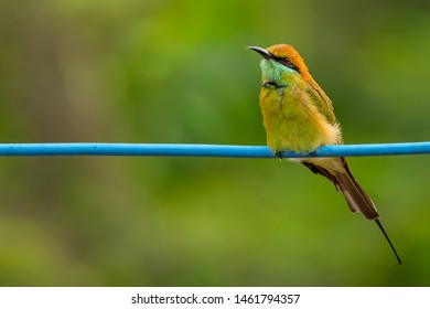 Green Bee-Eater perching on blue electrical wire, looking into a distance