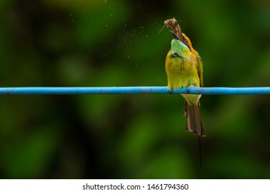 Green Bee-Eater perching on blue electrical wire, tossing a moth in the air