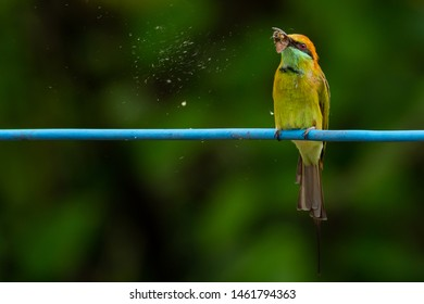 Green Bee-Eater perching on blue electrical wire, holding a moth in the beak for food