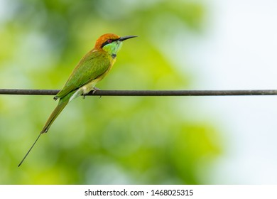 Green Bee-Eater perching on electrical wire, looking into a distance