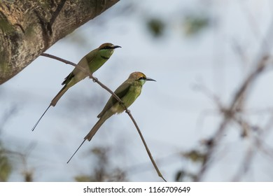 Green bee-eater wandering around the forest of Kabini wildlife sanctuary