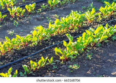 Drip Line Irrigation Stock Photos, Images & Photography | Shutterstock