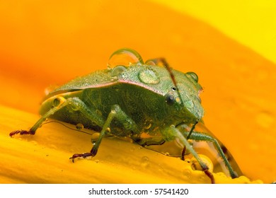 A green beetle covered in water sitting on a yellow flower.