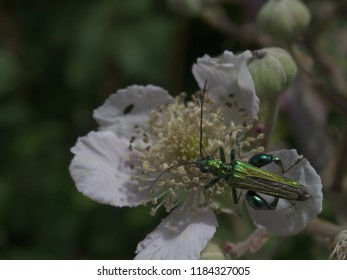 Green beetle eats on a white flower on a green background