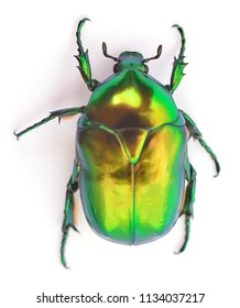 Green beetle insect rose chafer (cetonia aurata) isolated on white background.