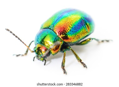 green beetle insect rose chafer (cetonia aurata) isolated on white background